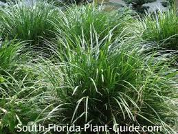 568 best ornamental grasses images on ornamental