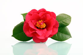 camellia flowers flower facts camellia grower direct fresh cut flowers presents