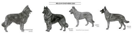 belgian sheepdog short hair belgnte belgian shepherds belgian shepherd breed standard