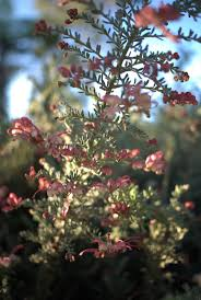 canberra native plants 44 best grevillea images on pinterest native plants native