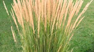 fielding questions wait to trim ornamental grass until next