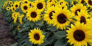 sunflower pictures how to plant and care for sunflowers bunnings warehouse