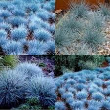 15 blue fescue grass festuca glauca garden plants hardy
