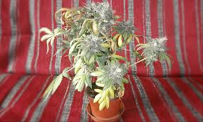 hardest plant to grow 100 hardest flower to grow flower kreative kymona 420