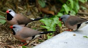 shaft tail finch facts as pets care temperament pictures