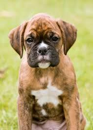 boxer dog uncontrollable head shaking boxer dog my boxer dog buddy