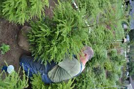 growing propagating and selling canadian hemlock tsuga canadensis