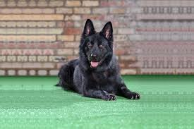 belgian sheepdog uk trained german shepherds dogs u0026 puppies for sale in uk protection