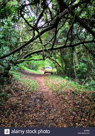 yellow volkswagen beetle royalty free yellow vw beetle parked on a path in the forest in florianópolis
