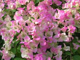 miami pink bougainvillea plants encyclopedia