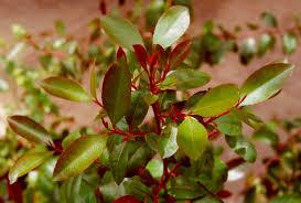 Teh Arab biologi lingkungan hidup teh arab catha edulis forsk