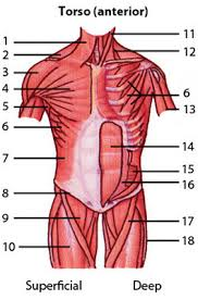 Anatomy And Physiology Exercise 10 Anatomy And Physiology Muscles Location Action Origin And