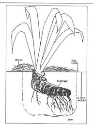 Irises How To Plant Grow by Louisiana Iris Www Cindyslouisianairis Com Carriere Ms Growing