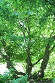 file iron wood tree parottia persica photo by pejman