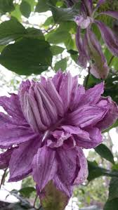 1038 best clematis images on pinterest flowers plants and