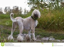 afghan hound dog images afghan hound dog stock photo image 25924680
