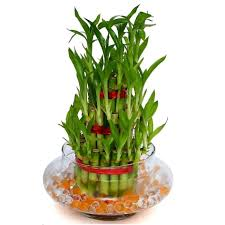 Good Vase 3 Layers Feng Shui Good Luck Bamboo Plant With Glass Vase U0026 Water