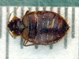 Bed Bugs Smell Bedbug Search Results The Smell Of Molten Projects In The Morning