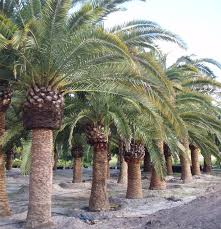 69 best palmtrees buy big date palms and photos of date palms