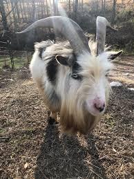 Billy Goat Meme - billygoat hashtag on twitter