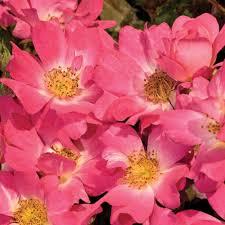 drift roses drift 1 gal pink live re blooming groundcover shrub 62421