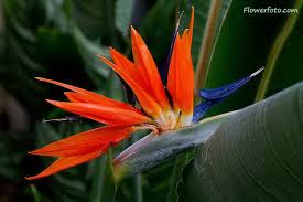 bird paradise flower designs flowers 5379473 top tattoos