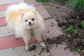 Can You Bury Animals In Your Backyard How To Stop Your Dog From Digging Training Dogs Not To Dig
