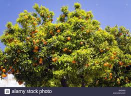 ornamental orange tree decorating the streets of medina sidonia in