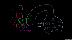 the lymphatic system u0027s role in immunity video khan academy