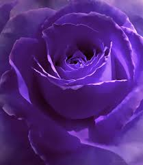 purple roses for sale secrets purple photograph by jennie schell