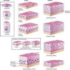 tissues basicmedical key