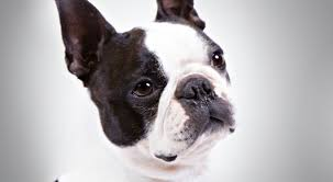 boston terrier dog breed information american kennel club