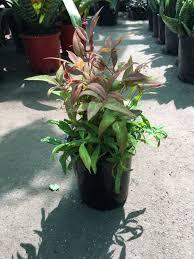 sweet viburnum 200mm pot viburnum nandina domestica nana westlake nursery