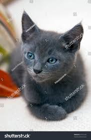 Depth Of A Sofa Small Sixweek Old Kitten Awaking His Stock Photo 43741735