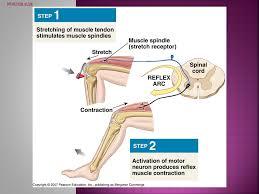 Knee Reflex Arc Automatic Motor Response To Stimuli Produces The Same Response