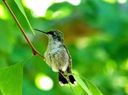 wallpaper hummingbirds wallpapersafari