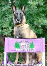 belgian malinois competition moonquest belgian malinois malinois for competitive sports
