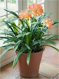 flowering clivia indoor plants wearefound home design