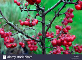 dwarf crab apple tree winter christmas red berry berries apples