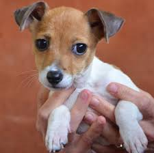 haircut ideas for long hair jack russell dogs rescue pup that s found a new pal in camilla bluebell the jack