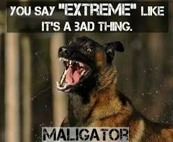 belgian malinois in movies 20 best images about chief our belgium malinois on pinterest