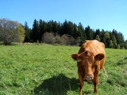 brown cow free stock photo public domain pictures
