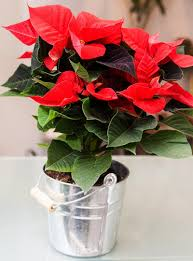 christmas poinsettia gardenia beautiful flowers same day