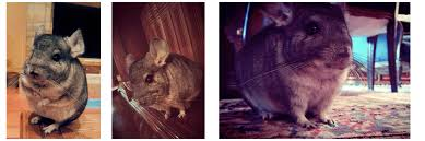 my chinchilla has game google family feud