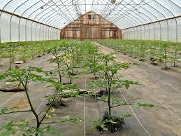 tomato trellising to greener pastures