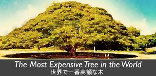 niee 100 the most expensive tree in the world esl news