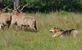 australian shepherd herding 3rd corgi herding day born to be