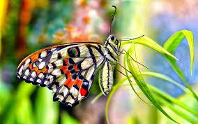 butterfly hd wallpapers wallpapersin4k net