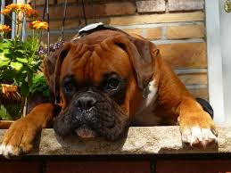 boxer dog jigsaw puzzles 458 best boxers u0026 dog quotes images on pinterest boxer love