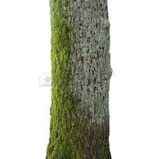 tree trunk stock photos pictures royalty free tree trunk images